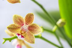 Phalaenopsis hybrid. Beautiful varietal rare orchid. Stock Photo