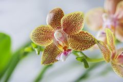 Phalaenopsis hybrid. Beautiful varietal rare orchid. Royalty Free Stock Photo
