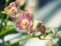 Phalaenopsis hybrid. Beautiful varietal rare orchid. Stock Photos