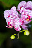 Phalaenopsis Hybrid orchid flower, close up, selective focus Royalty Free Stock Photo