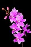 Phalaenopsis hybrid Royalty Free Stock Photos