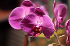 Phalaenopsis hybrid Pink. Cultivar with medium sized Pink flowers with red lip with tiger markings and two long whiskers, and white small projection in upper Royalty Free Stock Image