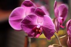 Phalaenopsis hybrid Pink Royalty Free Stock Image