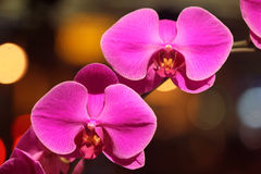 Phalaenopsis hybrid Pink Royalty Free Stock Images