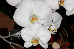 Phalaenopsis hybrid Whight. Phalaenopsis hybrid White, cultivar with medium sized white flowers with golden lip with tiger markings and two long whiskers, and Royalty Free Stock Images