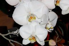 Phalaenopsis hybrid Whight Royalty Free Stock Images