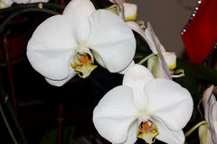 Phalaenopsis hybrid White. Cultivar with medium sized white flowers with golden lip with tiger markings and two long whiskers, and white small projection in Royalty Free Stock Photography