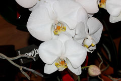 Phalaenopsis hybrid White. Cultivar with medium sized white flowers with golden lip with tiger markings and two long whiskers, and white small projection in Royalty Free Stock Images