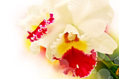Phalaenopsis hybrid Royalty Free Stock Photos