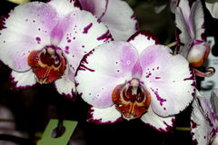 Phalaenopsis Hybrid white with purple patches red lip stock photo