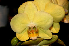 Phalaenopsis hybrid Yellow Red Lip. Cultivar with medium sized yellow flowers with golden lip with red markings and white small projection in upper lip royalty free stock photography