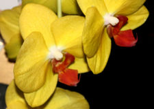 Phalaenopsis hybrid Yellow Red Lip. Cultivar with medium sized yellow flowers with golden lip with red markings and white small projection in upper lip stock image