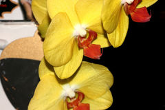Phalaenopsis hybrid Yellow Red Lip. Cultivar with medium sized yellow flowers with golden lip with red markings and white small projection in upper lip royalty free stock image