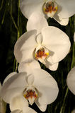 Phalaenopsis Hybride Royalty Free Stock Photos