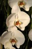 Phalaenopsis Hybride. White flowers of a Phalaenopsis Hybride Royalty Free Stock Photos