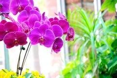 Phalaenopsis Inflorescence Stock Image