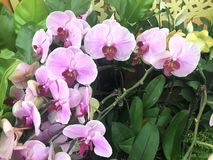 The Phalaenopsis in International Horticultural Exhibition 2019 Beijing China. A Pink Flower in International Horticultural Exhibition 2019 Beijing China Called royalty free stock images