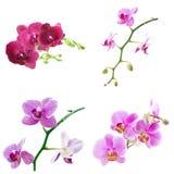 Phalaenopsis isolated on white Royalty Free Stock Photography