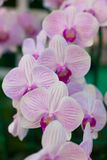 Phalaenopsis. A kind of orchid Stock Images