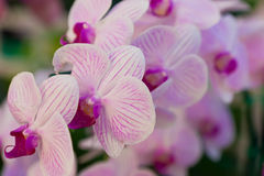 Phalaenopsis. A kind of orchid Royalty Free Stock Photos