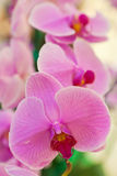 Phalaenopsis. A kind of orchid Royalty Free Stock Images
