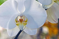 Phalaenopsis l'orchidée de mite Photo stock