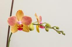 Phalaenopsis mit Stock 1 Stockfoto