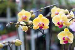 Phalaenopsis,Moth Orchid flowers,beautiful with yellow flowers o Royalty Free Stock Images