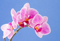 Phalaenopsis moth orchid Stock Photos