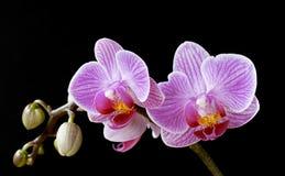 Phalaenopsis, moth orchid flowers on black Stock Images