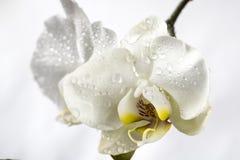Phalaenopsis, Moth Orchid Royalty Free Stock Image