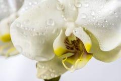 Phalaenopsis, Moth Orchid Stock Photography