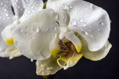 Phalaenopsis, Moth Orchid Royalty Free Stock Images