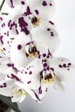 Phalaenopsis, Moth Orchid Stock Photos