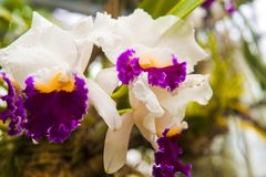 Moth orchids stock images