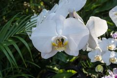 Phalaenopsis o orchidee di lepidottero una delle orchidee più popolari Immagine Stock