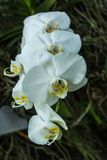 Phalaenopsis o orchidee di lepidottero una delle orchidee più popolari Fotografia Stock Libera da Diritti