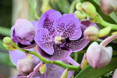 Phalaenopsis oder 'Motten-Orchidee' in voller Blüte Stockfotografie
