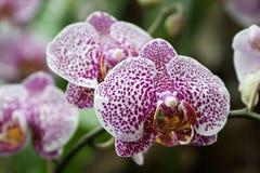 Phalaenopsis, orchidée Image libre de droits