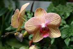 Phalaenopsis Orchid Royalty Free Stock Photo