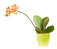 Phalaenopsis orchid Stock Photos