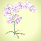 Phalaenopsis orchid Stock Images