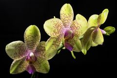 Phalaenopsis Orchid. Green phalaenopsis Orchid on black background Stock Images