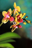 Phalaenopsis orchid Stock Photo