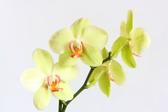 Phalaenopsis Orchid. Yellow beautiful orchid isolated on white background Royalty Free Stock Photo