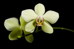 Phalaenopsis Orchid. Yellow beautiful orchid isolated on black background Stock Photo