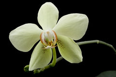 Phalaenopsis Orchid. Yellow beautiful orchid isolated on black background Stock Photography