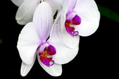 Phalaenopsis orchid on black Stock Photos