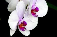 Phalaenopsis orchid on black Stock Photos