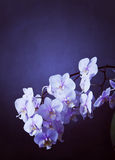 Phalaenopsis orchid with bloomy spike on grunge texture Royalty Free Stock Photo